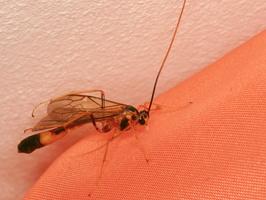 Hymenoptera 3896