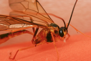 Hymenoptera 3897