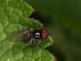 Diptera 3986