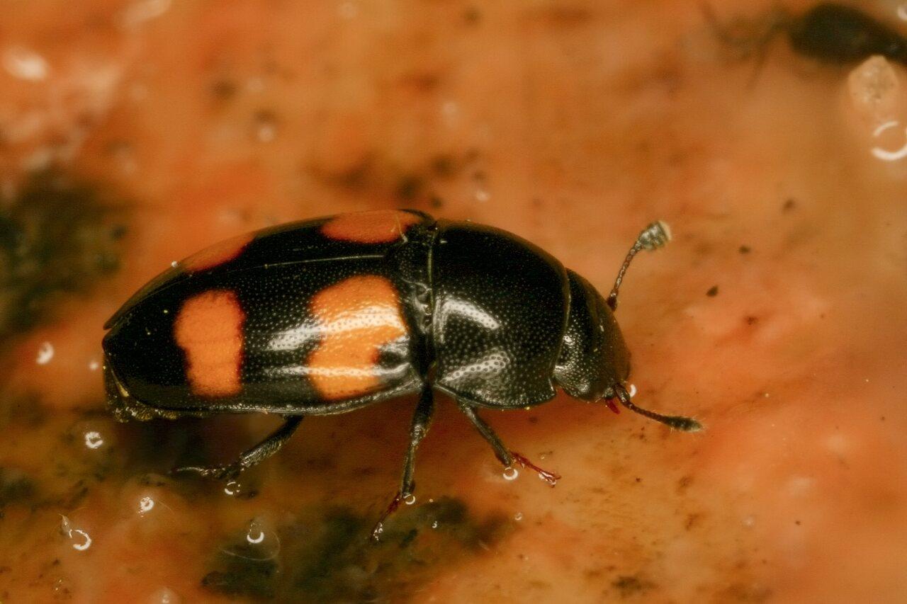 3989-Nitidulidae.jpg