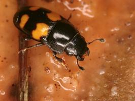Glischrochilus hortensis · daržinis žvilgiavabalis