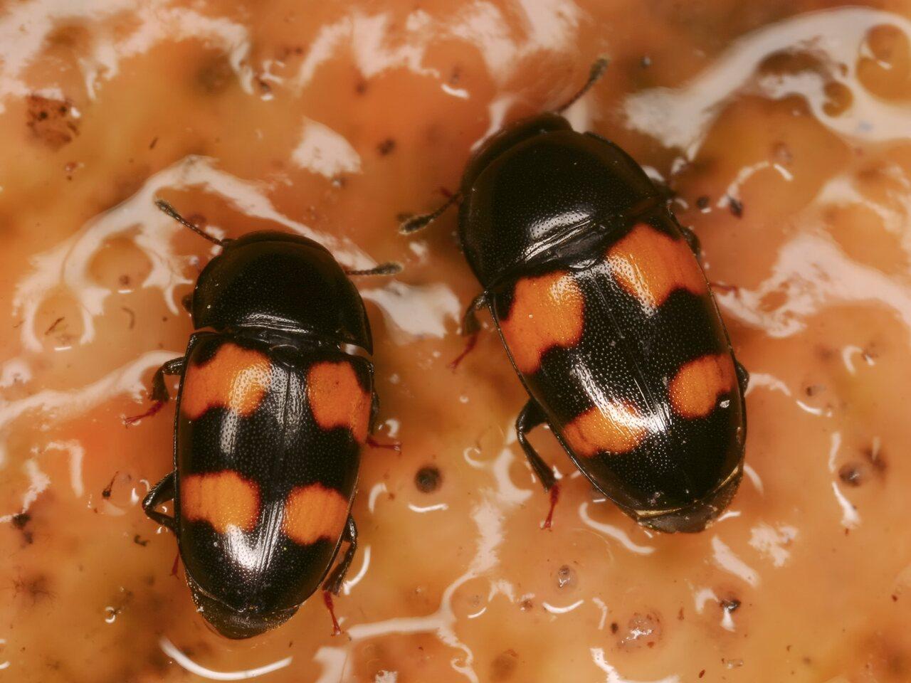 3994-Nitidulidae.jpg
