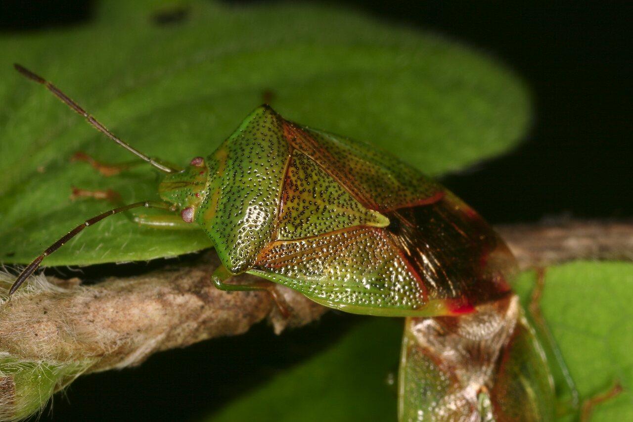 Elasmostethus-interstinctus-3997-Acanthosomatidae.jpg
