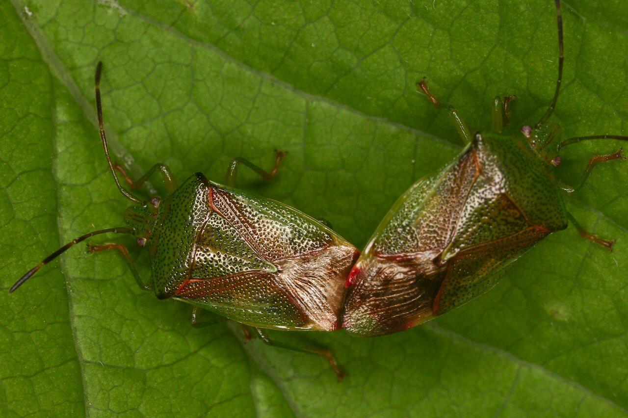 Elasmostethus-interstinctus-3998-Acanthosomatidae.jpg