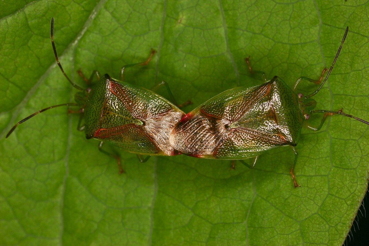 Elasmostethus-interstinctus-3999-Acanthosomatidae.jpg