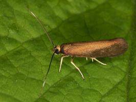 Roeslerstammiidae · reslerstamijos