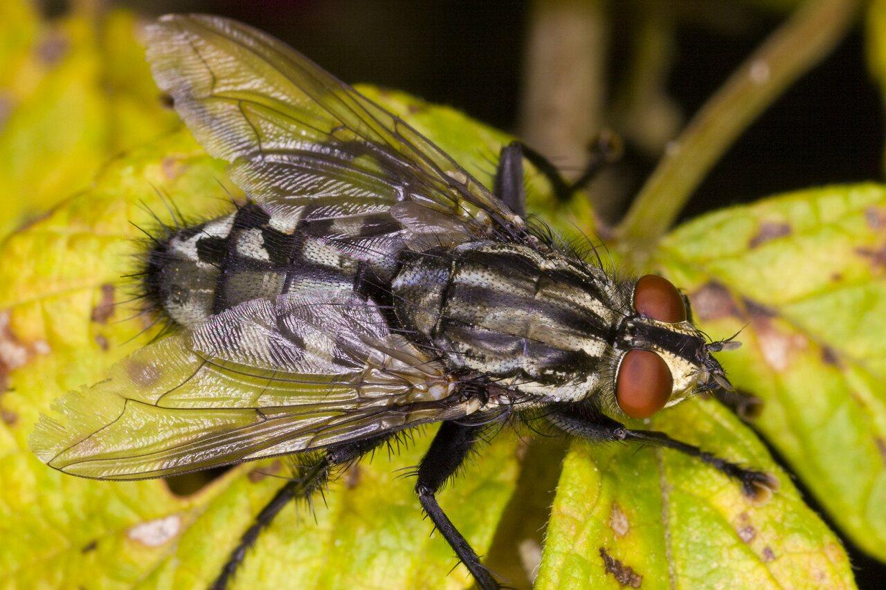 Sarcophaga-4000-Diptera.jpg