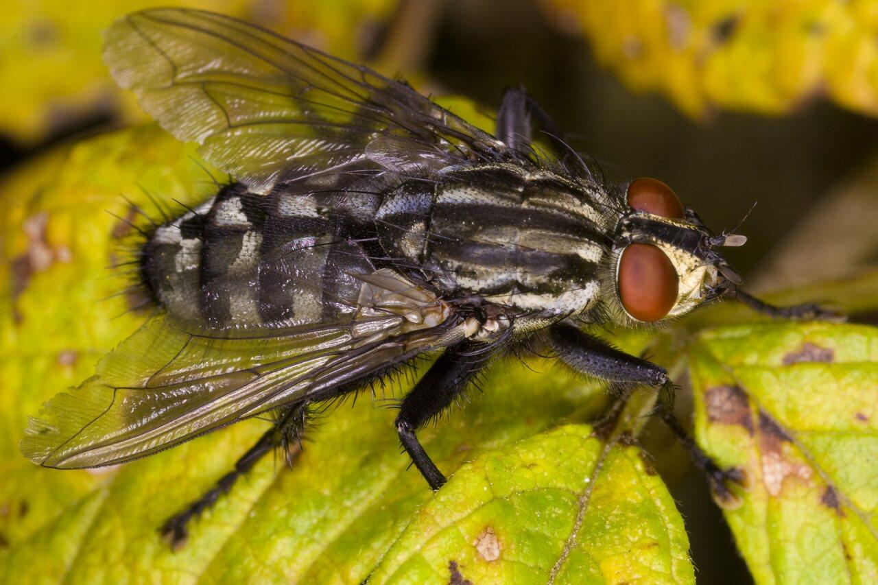 Sarcophaga-4001-Diptera.jpg