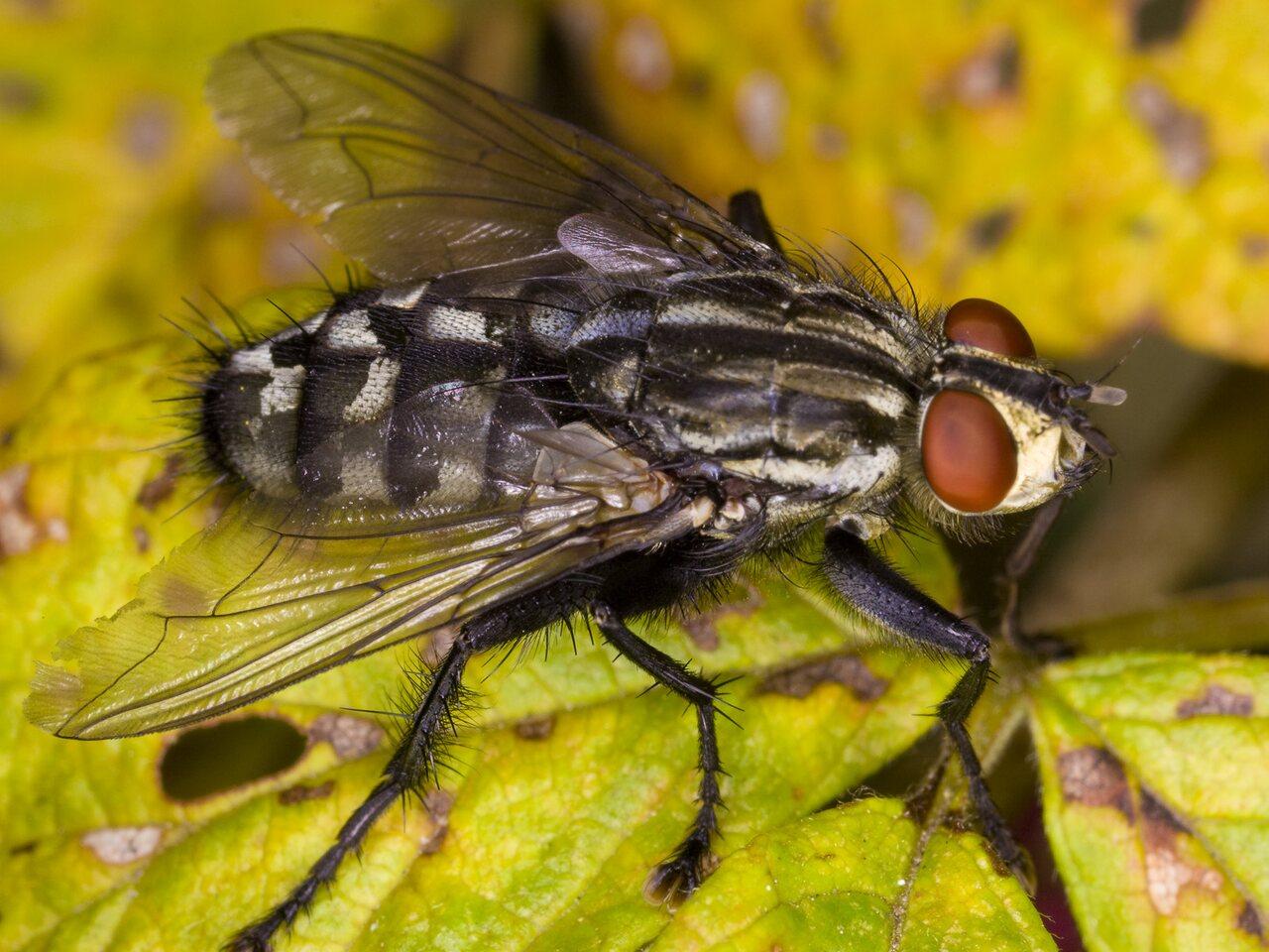 Sarcophaga-4002-Diptera.jpg