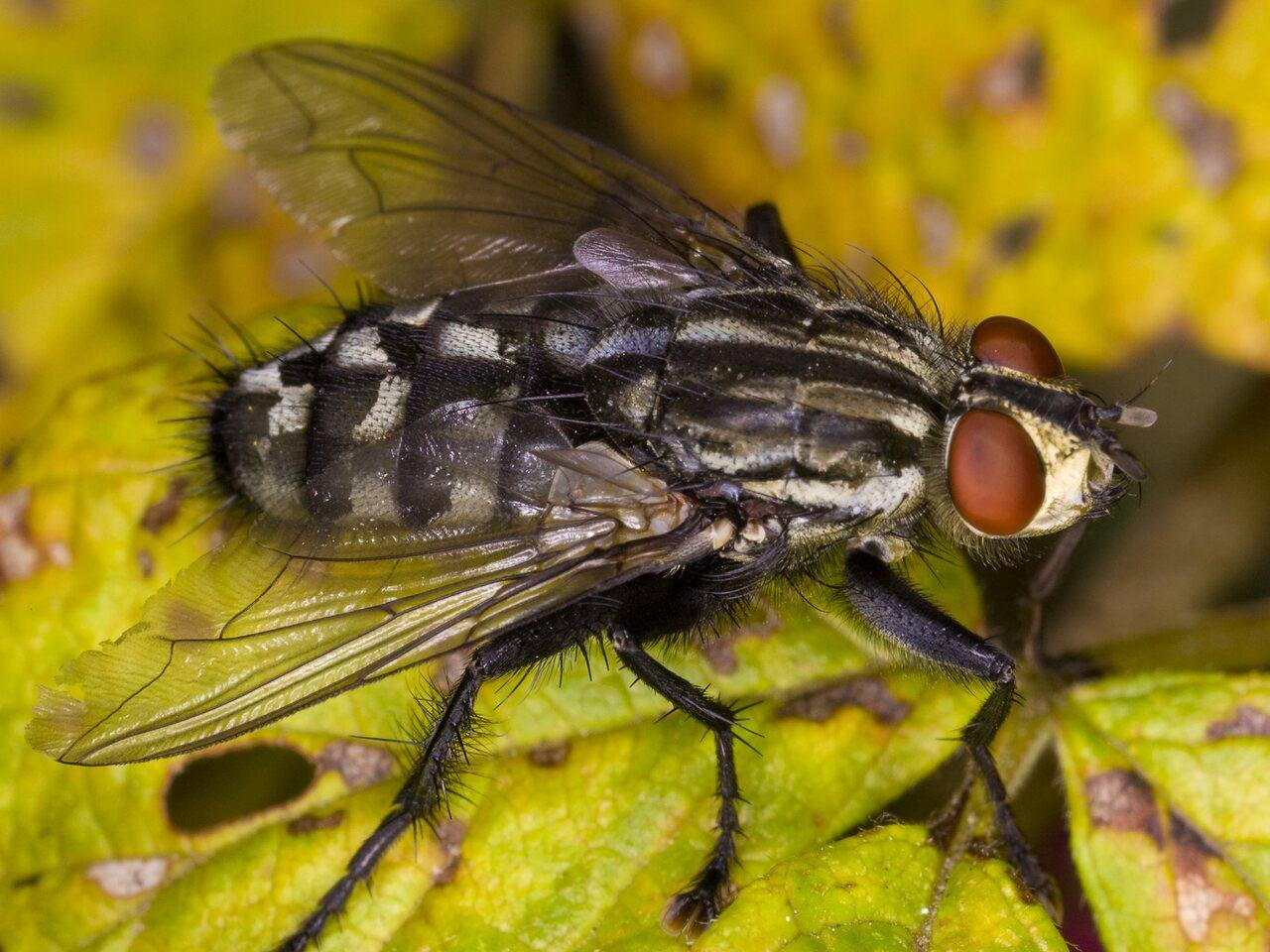 Sarcophaga-4004-Diptera.jpg