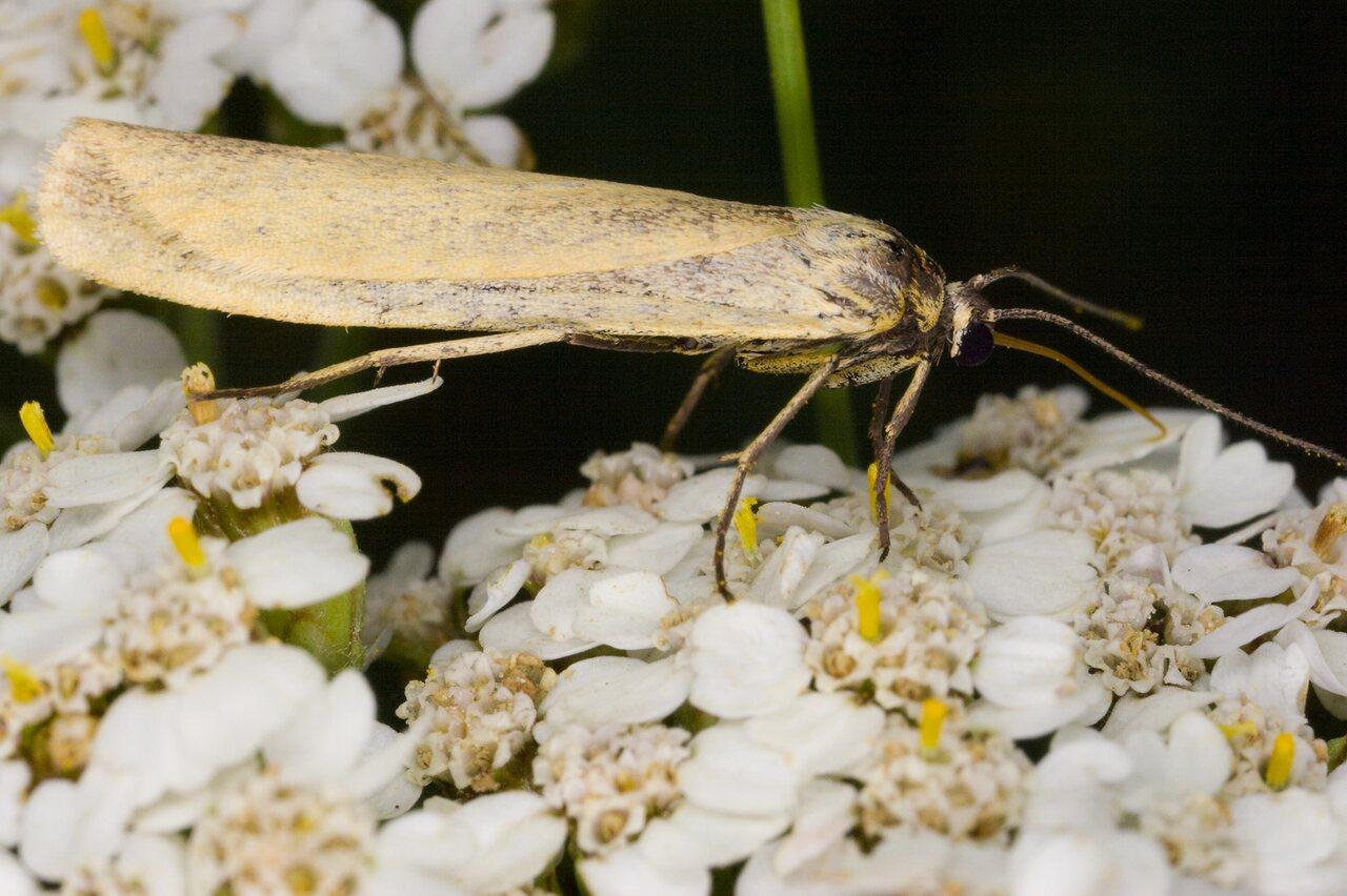 Eilema-lutarella-4006-Arctiidae.jpg