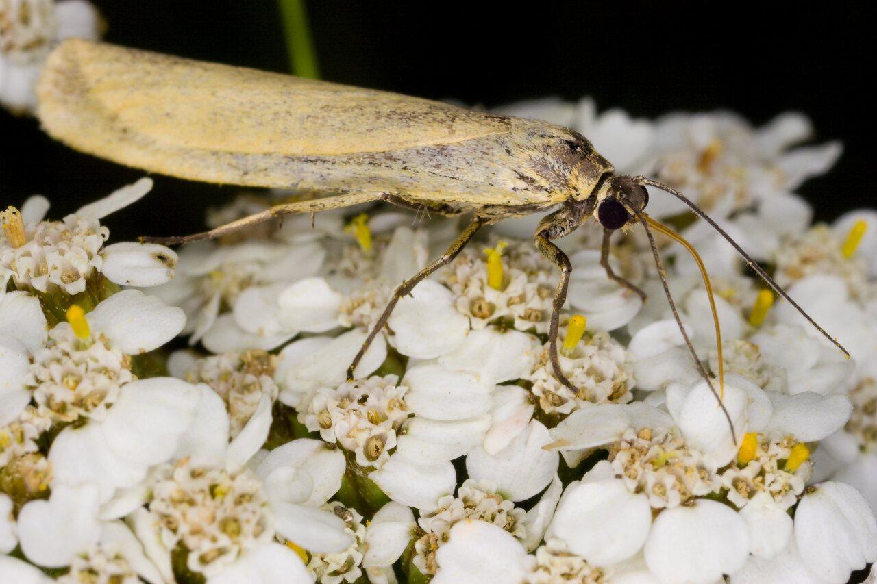 Eilema-lutarella-4007-Arctiidae.jpg