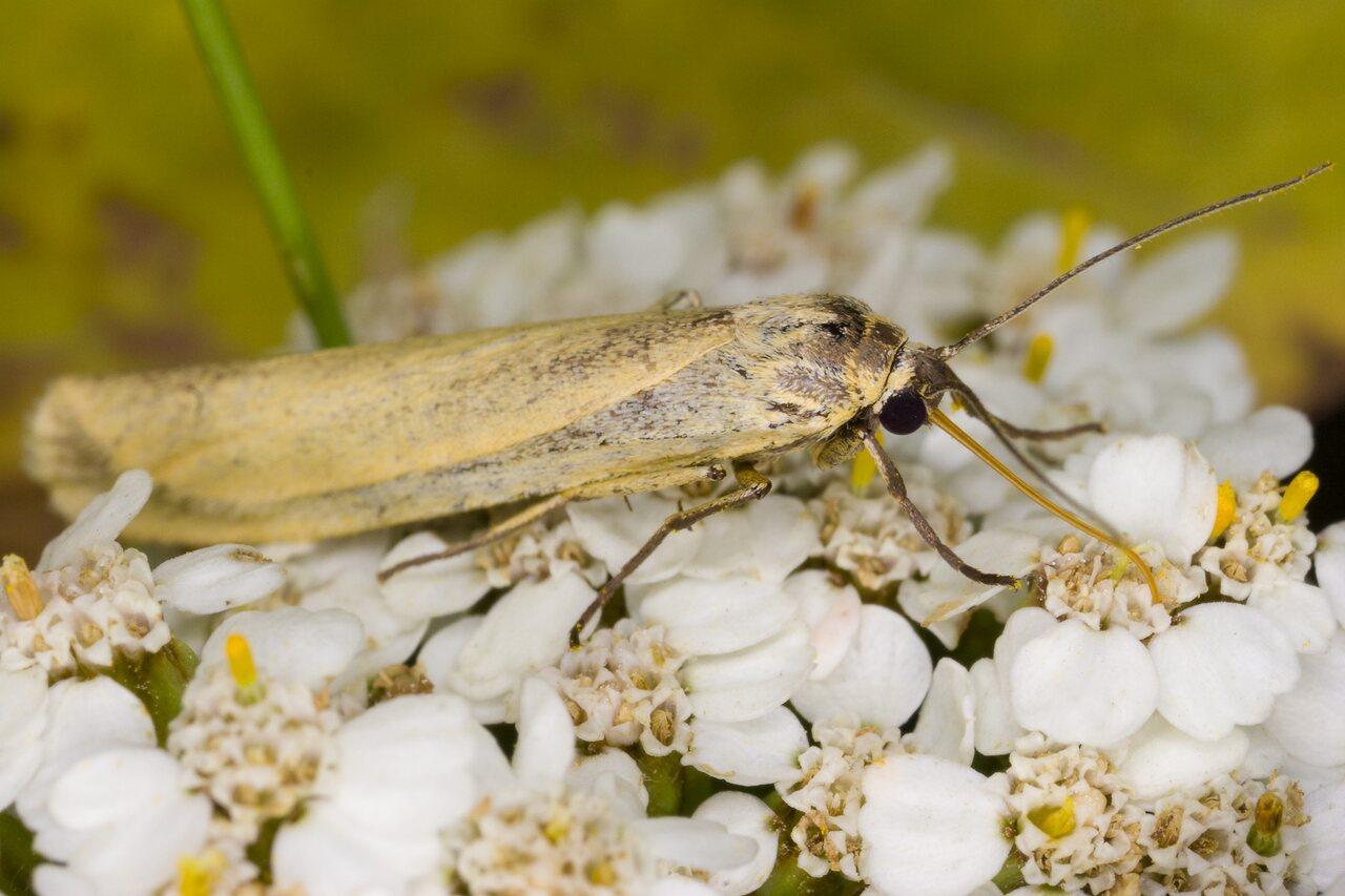 Eilema-lutarella-4009-Arctiidae.jpg