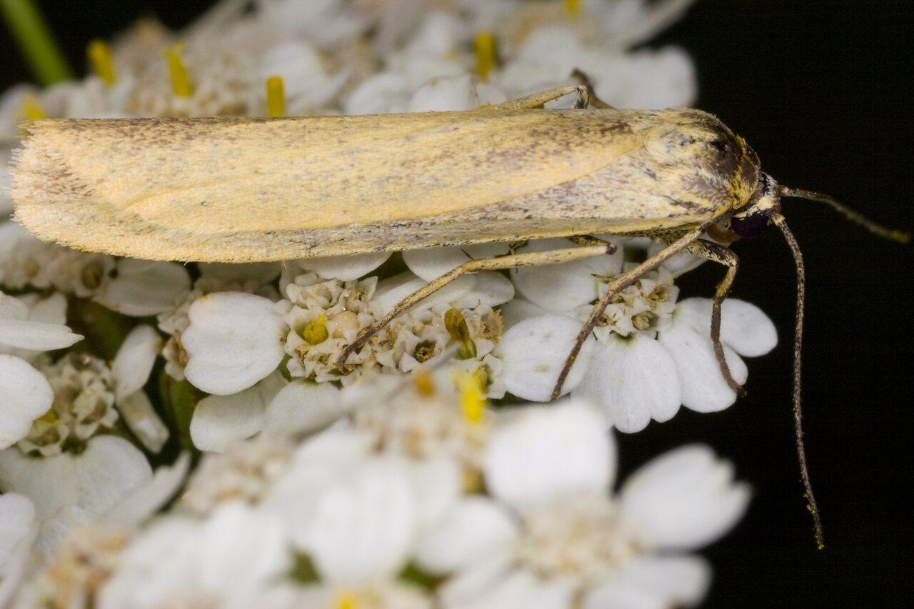 Eilema-lutarella-4010-Arctiidae.jpg