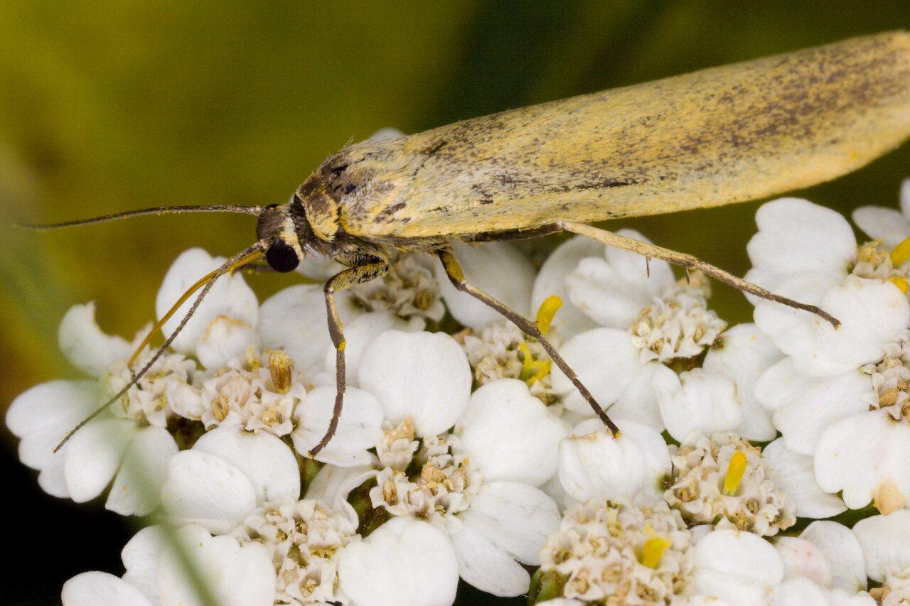 Eilema-lutarella-4011-Arctiidae.jpg