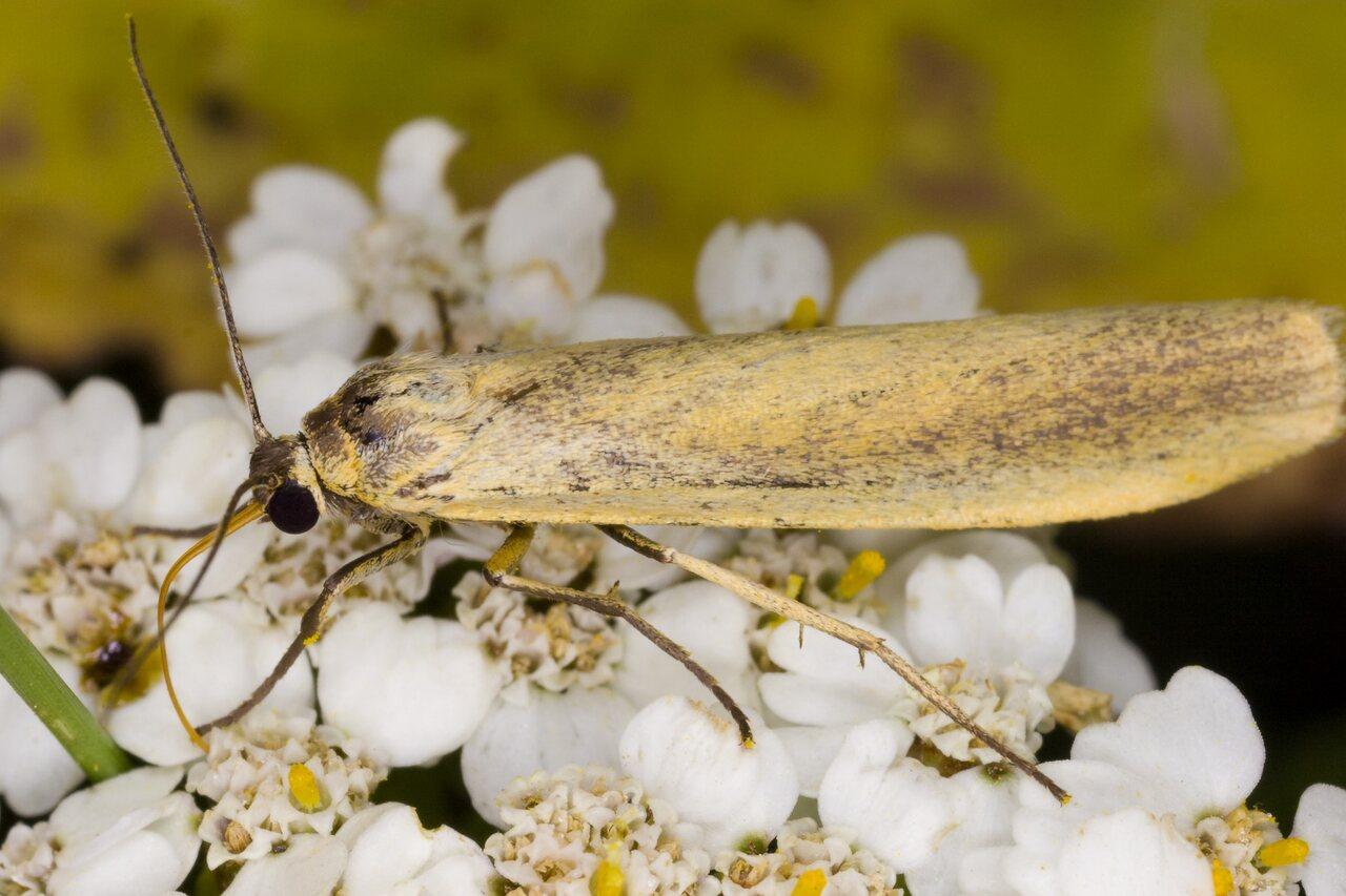 Eilema-lutarella-4012-Arctiidae.jpg