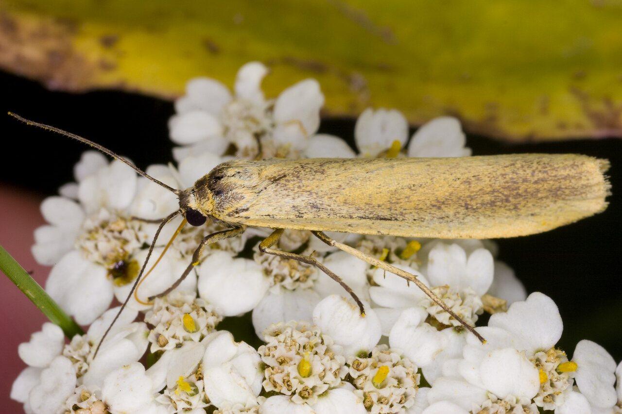 Eilema-lutarella-4013-Arctiidae.jpg