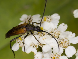 Stenurella melanura male · juodasiūlis grakštenis ♂