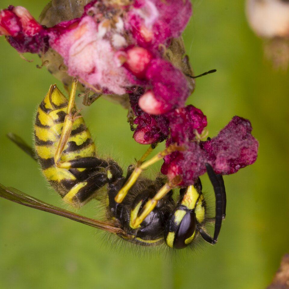 Vespidae-4015-Hymenoptera.jpg