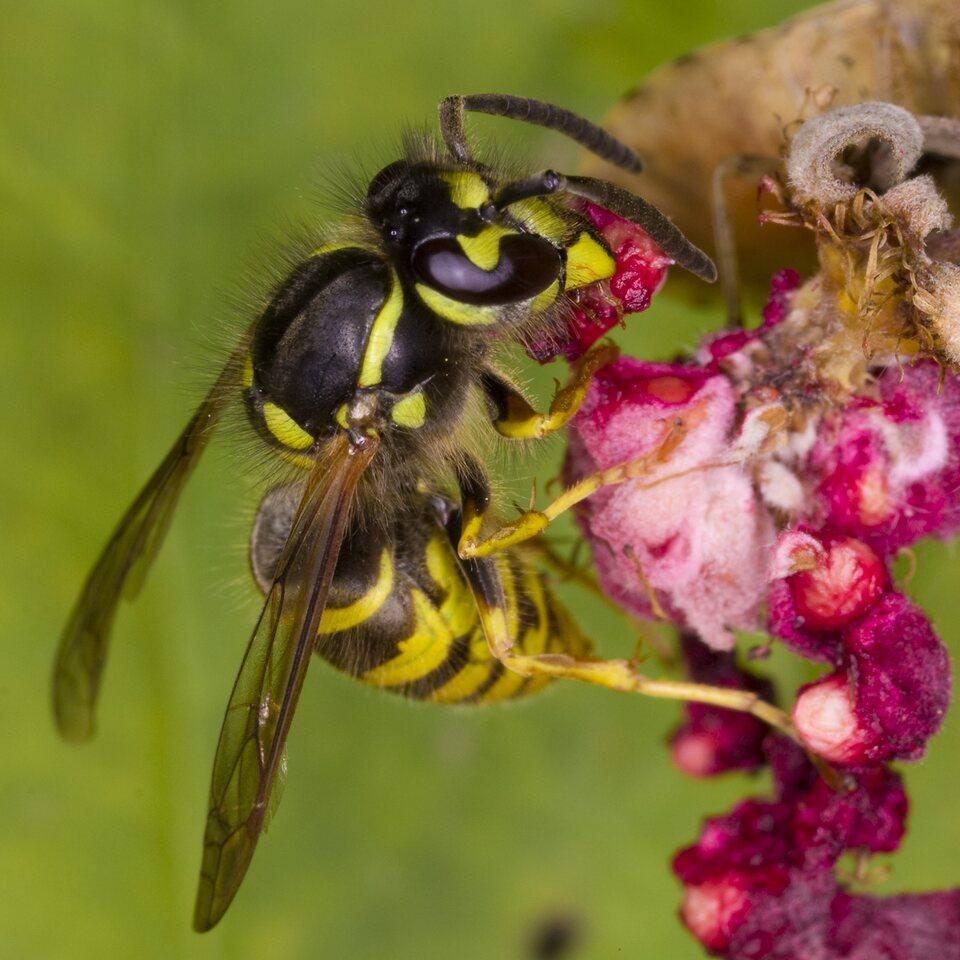 Vespidae-4016-Hymenoptera.jpg