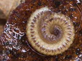 Diplopoda sp. · dviporiakojis