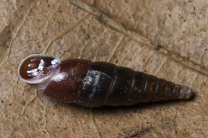 Cochlodina laminata · glotnioji slukutė