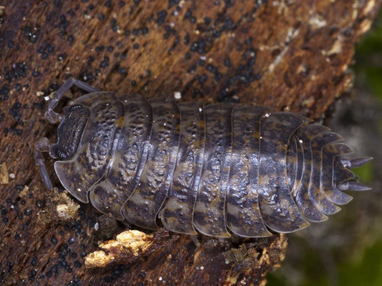 Oniscusasellus-4106.jpg