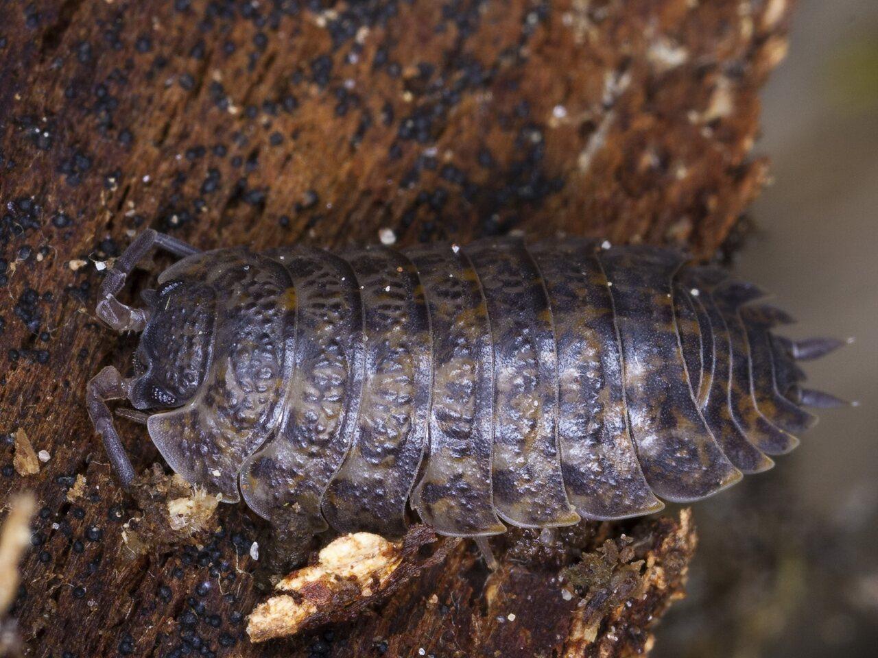 Oniscusasellus-4108.jpg