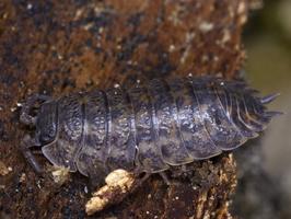 Oniscus asellus · paprastasis vėdarėlis