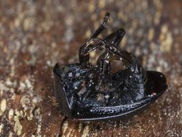 Phosphuga atrata · šliužagraužis maitvabalis