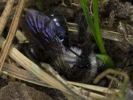 Andrena cineraria · smėliabitė