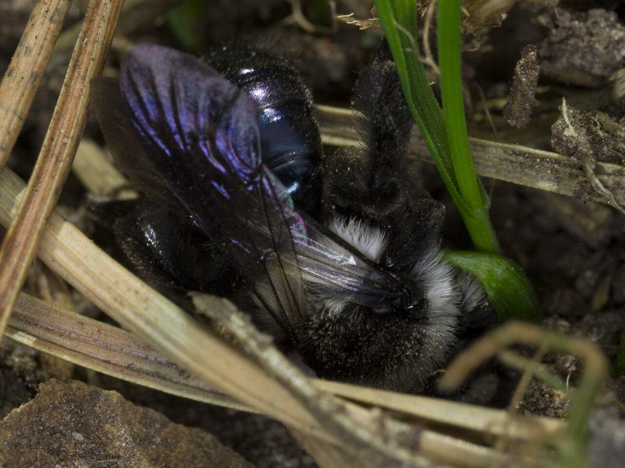 Andrena-cineraria-4359.jpg