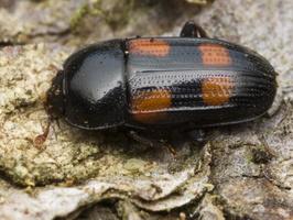 Nitidulidae · žvilgiavabaliai