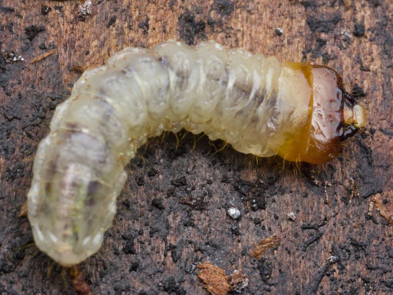 Cerambycidae-4374.jpg