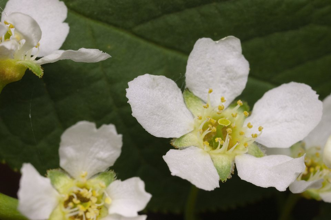 Prunus-padus-4392.jpg