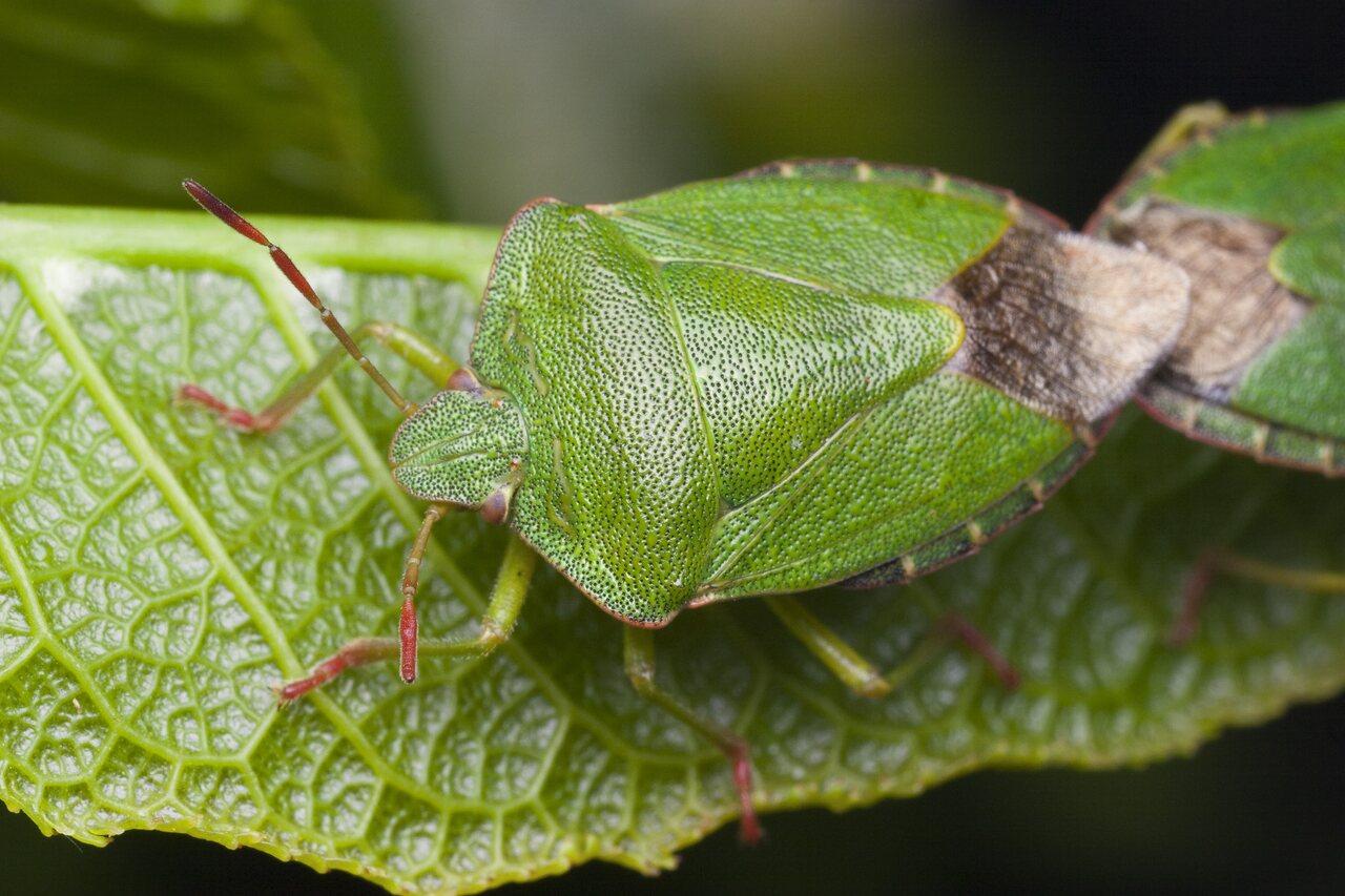 Palomena-prasina-4405.jpg