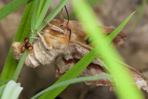 Aglia tau female laying eggs · rudoji saturnija ♀ deda kiaušinėlius