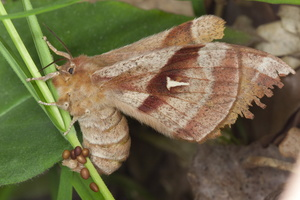 Saturniidae · saturnijos