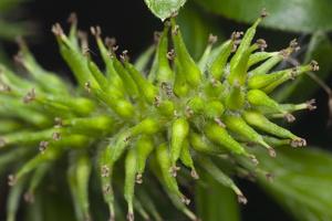 Salix cinerea · pilkasis karklas