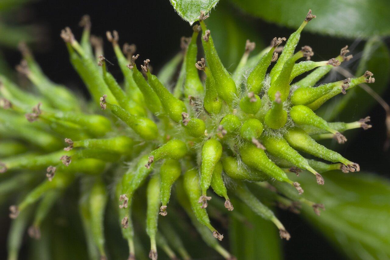 Salix-cinerea-4456.jpg