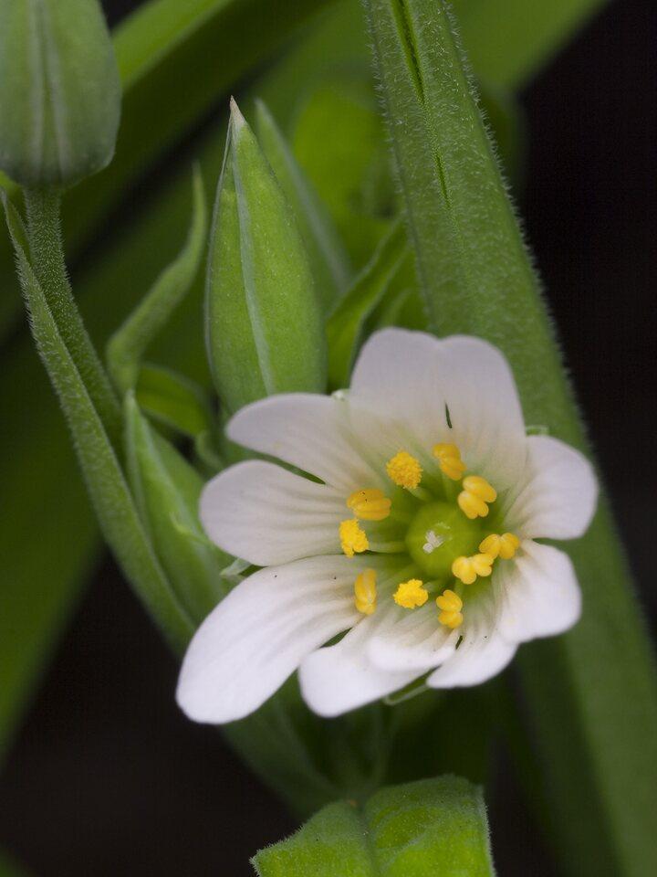 Caryophyllaceae-4467.jpg