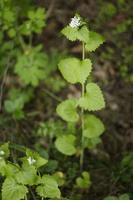 Alliaria petiolata · vaistinė česnakūnė