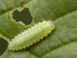 Gonioctena quinquepunctata larva · penkiataškis dygblauzdis, lerva 9764