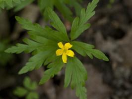 Anemone ranunculoides · geltonžiedė plukė