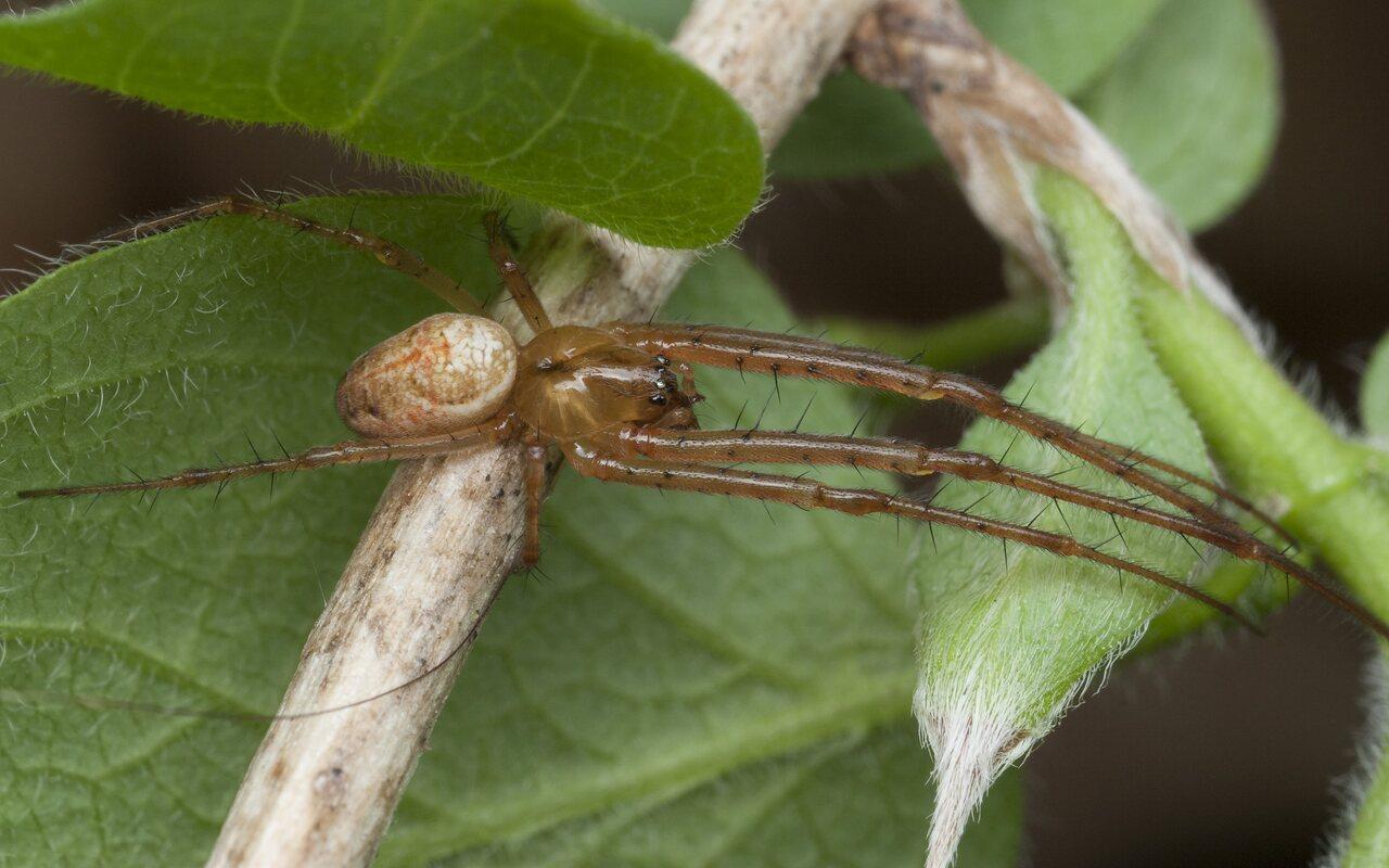 Tetragnathidae-9810.jpg