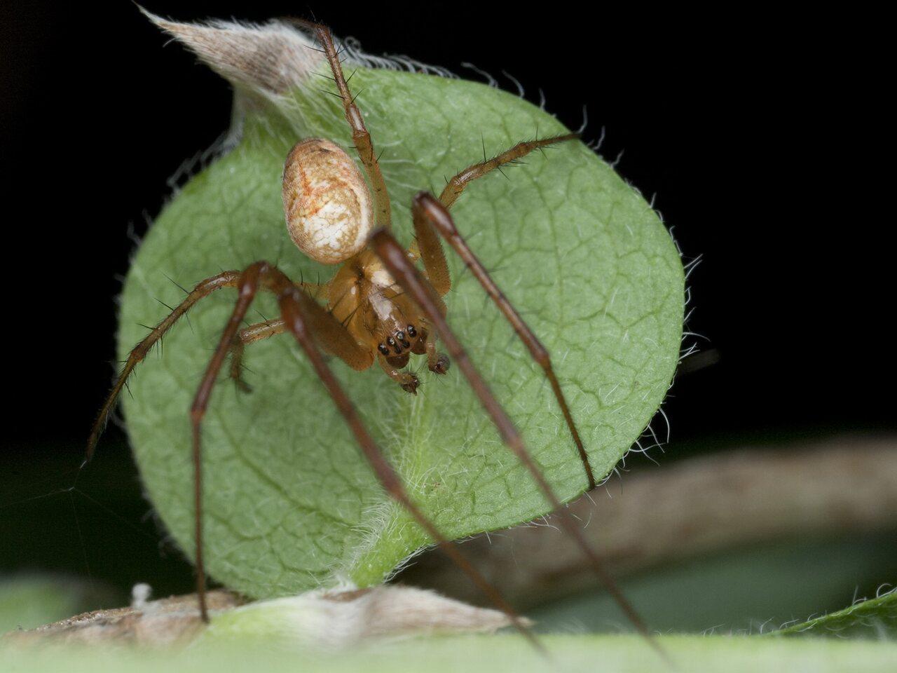 Tetragnathidae-9812.jpg