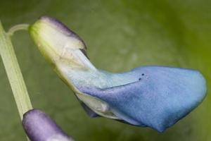 Lathyrus vernus · pavasarinis pelėžirnis