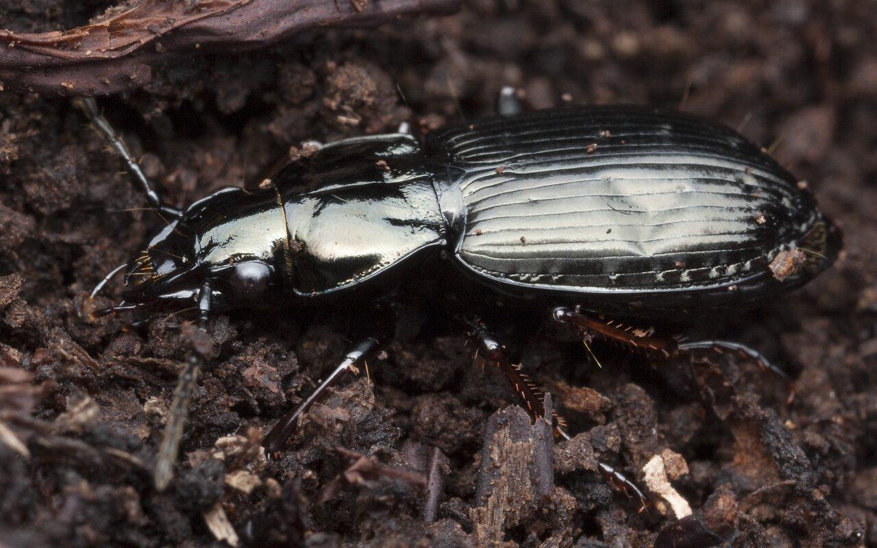Pterostichus-9848.jpg