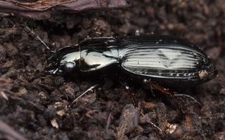 Pterostichus oblongopunctatus · duobėtasis smiltžygis