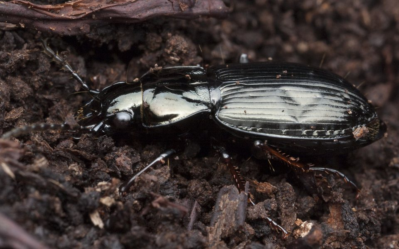 Pterostichus-9849.jpg